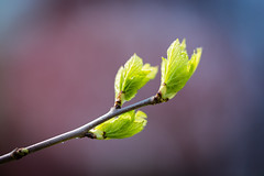 Tree of a Kind (Jeronimo Photography) Tags: 3 macro tree green three spring colorful branch purple outdoor buds vignette sprout canon6d ef100mmf28lmacroisusm