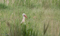 Ooievaar (Paul van Agthoven) Tags: holland canon zoom bokeh natuur ii zomer l usm lente dieren kleuren 100400 70d