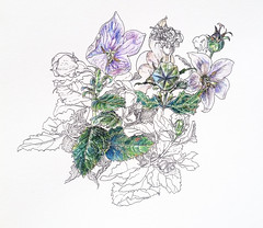 1550_1 ( ) Tags: flowers illustration ink botanical spring fountainpen 365 sketches platinum