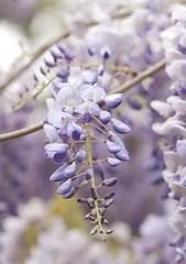 Wisteria (Bakelaar en Waardenburg) Tags: flowers flower nature floral nikon fotografie tuin wisteria bloemen tuinen flowerphotography flowerphotografie bakelaarenwaardenburg tuinfotografie bakelaarenwaardendurg