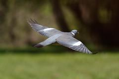 _F0A7957.jpg (Kico Lopez) Tags: birds rio spain aves galicia lugo mio columbapalumbus palomatorcaz