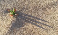 Beach Plant (caralan393) Tags: shadow red green texture beach three sand phone