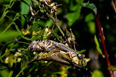 2015  Differential Grasshoppers Mating (Melanoplus differentialis) 4 (DrLensCap) Tags: county railroad abandoned robert forest bug way insect pacific district union cook trails right il rails mating to preserve kramer grasshoppers preserves differential melanoplus differentialis weberspur traillabaghwoodschicagoillinois