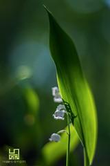 PROTETTO (Lace1952) Tags: primavera ombra foglia fiore luce narciso sottobosco nikond7100 zeissplanar50mmf1e4
