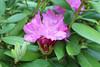 IMG_3010.JPG (robert.messinger) Tags: flowers rhodies
