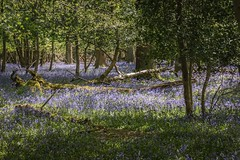 ltr-2215 (KazzT2012) Tags: bluebells canoneos70d chilterns spring woods trees ashridgeestate thechilterns