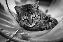 Will I, won't I.. (Tracey Rennie) Tags: bw monochrome cat concentration focus tabby cooper decision littledoglaughedstories littledoglaughednoiret