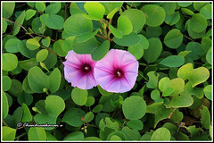6159 - morning glory (chandrasekaran a 34 lakhs views Thanks to all) Tags: flowers india nature morningglory chennai canon60d