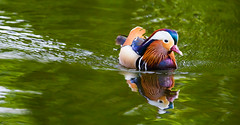Mirror, mirror (Steve-h) Tags: park pink blue ireland dublin orange naturaleza white lake black colour reflection green nature water beauty birds digital swimming swim wow reflections outdoors eos mirror duck spring pond europa europe exposure pretty wake day colours purple natur feathers may ducks floating eu natura swimmer mandarin ripples drake float ef floater bushypark 2016 steveh ef100400mm eos5dmkii