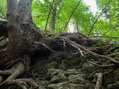 unterm Wald (luzifair) Tags: wald stein harz fichte wurzel schiefer