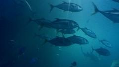 Plymouth Aquarium - Predators Tank 5 (jack_lanc) Tags: plymouth acquarium wildlife fish sharks conservation marine biology devon predator predators
