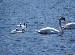 Just cuz they're so cute (rkramer62) Tags: may springlake muteswans springscenes puremichigan rkramer62