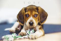 Baby Toby (miriamhope) Tags: family boy dog pet baby pets cute love beagle beautiful beauty animal animals puppy happy eyes sad