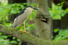 Bihoreau gris / Black-crowned Night-Heron (Pierre Lemieux) Tags: canada québec blackcrownednightheron villedequébec bihoreaugris parcdesmoulins