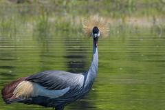 5653eastAfricanCrownedCrane (hc8907) Tags: bird easternafrica eastafricancrownedcrane balearicaregulorumgibbericeps