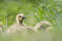 Noms (santosh_shanmuga) Tags: wild baby canada cute green bird nature wet animal outdoors geese duck md nikon outdoor wildlife small birding adorable maryland aves goose chick eat tiny montgomery gosling fowl waterfowl 500mm gaithersburg wildfowl d3s