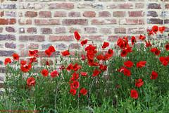 Papaver (Rick & Bart) Tags: flower nature canon flora belgium hasselt poppy bloom wildflower klaproos limburg papaver herkenrode rickbart rickvink eos70d