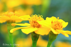 Yellow (~~ Y.C.CHEN) Tags: light flower green nature beautiful yellow canon bokeh 7d marco