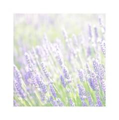 (mgarcacalvo) Tags: flowers naturaleza flores nature tamron90mm lavanda lavandula