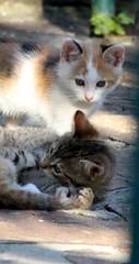 IMG_0224 (Christandl) Tags: cats baby cat kitten babies katze katzen