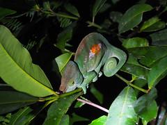 Andasibe-Mantadia National Park (Laika ac) Tags: africa night chameleon madagascar nightwalk andasibemantadianationalpark