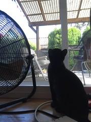 20160430-Angus 21 - bird watching (Snow Dragonwyck) Tags: black window cat fur kitten angus small watch kitty sootsprite