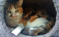 Mimi en sieste (freddylyon69) Tags: animals cat chat mimi pixrl mesphotos