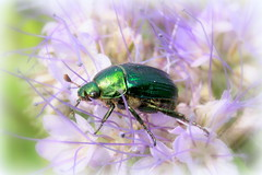 Emerald Green (ursulamller900) Tags: macro green bug beetle grn emerald gnorimusnobilis rosenkfer extensiontubes cetoniinae makroringe grneredelscharrkfer smaragrd