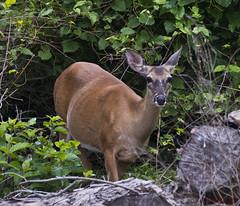 062116111432asmweb (ecwillet) Tags: nikon deer harrisburgpa whitetaileddeer susquehannariver wildwoodparkharrisburgpa nikond800e nikon200500f56