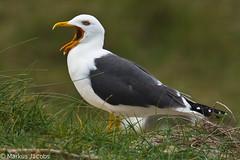 Yelling Lesser Black-backed Gull (markus.jacobs1899) Tags: sea nature birds tiere nikon seagull gull natur northsea vgel mwe nordsee  seabird  helgoland wildtiere nikkor300mm  seevgel golandbrun heringsmwe