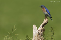 Merlebleu de l'Est - Eastern Bluebird (Vicky A.) Tags: bird bluebird oiseau easternbluebird merlebleudelest merlebleu