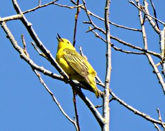Yellow Warbler, Swan Lake (kellermartha453) Tags: bridge blue sky lake color yellow high swan day bc sweet song south sunday floating sunny victoria liam end perched easy spotting warbler snag singh buttery mnemonic eggyolk birdwalk whistled sweetsweetimsosweet