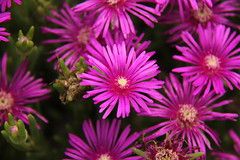 Pink flowers (ToJoLa) Tags: park pink usa nature garden natuur tuin bloemen kleuren