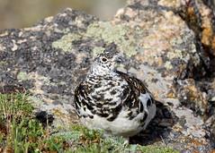 White-tailed ptarmigan - Lagopus leucura (Stoil Ivanov) Tags: whitetailed ptarmigan lagopus leucura rocky mountain national park