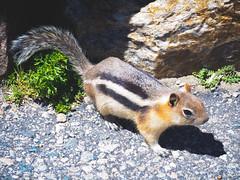 P6260433 (dicky c) Tags: nature nationalpark yellowstone em5ii omdem5ii