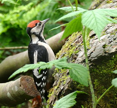 Young Great Spotted Woodpecker (eric robb niven) Tags: nature forest scotland woodpecker wildlife great spotted tentsmuir springwatch wildbird ericrobbniven