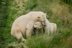 strongest love the most (jan_baranovski) Tags: bear love wildlife hugs polarbears