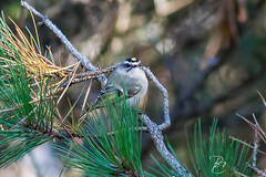 Golden Crowned Kinglet (btcarr1970) Tags: autumn newyork fall nature birds canon wildlife longisland t3 goldencrownedkinglet quogue suffolkcounty 1100d