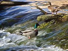 En aguas bravas II (Luicabe) Tags: luiscabellopatoanaderealriodueroaguazamorayarat1luicabeenazamoradoolympusomdem10