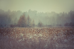 Winter at f/1.4 (Thousand Word Images by Dustin Abbott) Tags: trees winter snow ontario canada storm cold texture beautiful landscape outdoors pembroke bokeh fineart jerusalem atmosphere fullframe larch manualfocus tamarack petawawa selectivefocus narrowdepthoffield wideopen 2014 carlzeiss canoneos6d thousandwordimages dustinabbott dustinabbottnet adobelightroom5 adobephotoshopcc otus1485 alienskinexposure7 zeissotus1485mmplanartze