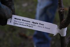 Not a banana (stephenmid) Tags: orchard alexandrapalace alexandrapark allypally londonorchardproject urbanorchardproject