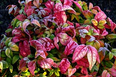 Frosted leaves (Mabjack) Tags: winter red cold frost evergreen shrub frosted nandina gardenplants heavenlybamboo multicolours sacredbamboo mabjack