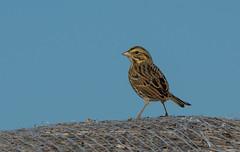 Savannah Sparrow on Haybale (Luckybon) Tags: bird sparrow savannahsparrow passerculussandwichensis