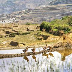 Ducks at the terraces - Duoyishu, Yunnan (Pic_Joy) Tags: china landscape scenery asia village terrace farm unescoworldheritagesite  yunnan ethnic  minority  hani     honghe duoyishu