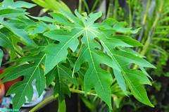 RedPapayaTree (mcshots) Tags: california autumn plants usa plant tree home nature yard coast stock socal greenery mcshots tropicals redpapaya losaangelescounty