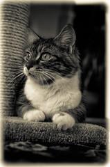 DSC_0653-2 (chrisxx64) Tags: blackandwhite cats animal cat feline claws domesticcat scratchingpost