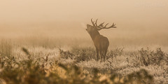 Its cold at the start (Grandpops Woodlice) Tags: mist cold sunrise frost reddeer richmondpark rut whatasound