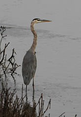 Stautesque Great Blue Heron (jrussell.1916) Tags: nature water birds wildlife greatblueheron canon400mmf56lusm squawcreeknationalwildliferefuge nationalwildliferefuges