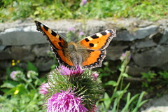 a sunny butterfly morning (springhawk) Tags: holiday mountains nature butterfly 2014 jeseníky