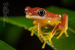 Agalychnis lemur (Rob Schell Photography) Tags: rainforest costarica amphibian frog centralamerica arboreal guayacan anura hylidae anuran leaffrog crarc iucncriticallyendangered lemurleaffrog agalychnislemur costaricanamphibianresearchcenter limonprovence